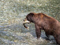 Salmon and Grizzlies in Hyder, Alaska