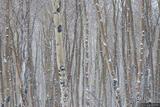 Aspens in a Snowstorm print