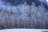 Frosty Aspens print