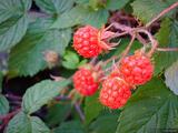 Alpine Raspberries print