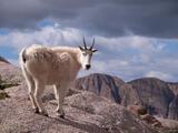 Weminuche Goat print