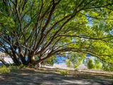 Wanaka Green Tree print