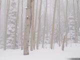 Snowy Aspens print
