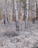 Snow Smothered Aspens print