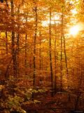 Black Forest Sunlight print