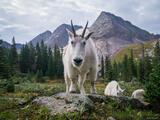 Curious Goat print