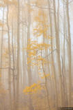 Aspens in the Mist print