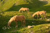 Alpine Horses print
