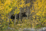 Moose in the Aspens print