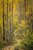 Trail Through the Aspens print