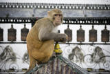 Swayambhunath Cookie Monkey print