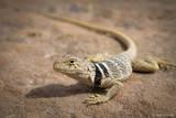 Collared Lizard print