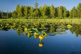 Lily Lake print