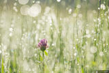Flower in the Dew print