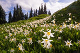 Avalanche Lily Meadow print