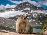 Marmot King print