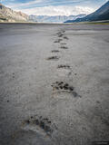 Grizzly Tracks print
