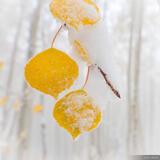 Snow Covered Aspen Leaf print