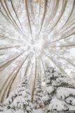 Snowy Aspen Vortex print