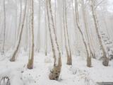Snowy Creeping Aspens print