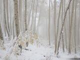 Snowy Foggy Aspens print