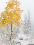 Snowy Golden Aspen print