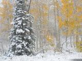 Snowy Pine and Aspens print