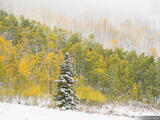 Willow Heights Snowy Aspens print