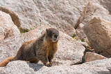 Marmot in Rocks print