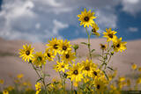Dunes Sunflowers Closeup print