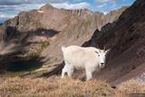 Gore Goat #2 print