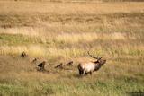 Bugling Elk print