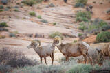 Valley of Fire Bighorns 2 print