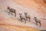 Valley of Fire Bighorns print