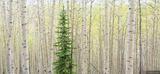 Lone Pine in Aspens print