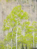 Spring Aspen Portrait print