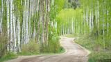 Spring Aspen Road print