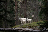 Mountain Goats in the Woods print