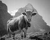 Eiger Cow B&W print