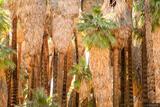 Indian Canyon Palms print