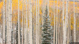Snowy Pine and Aspens print