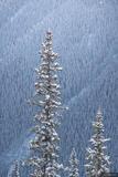 Winter Pine print