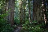 Suiattle Forest print