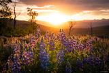 Lupine Sunrise print