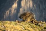Alpine Porcupine print