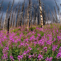 Trappers Lake, fireweed, Flattops, Colorado
