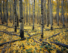 autumn, aspens, Colorado