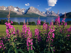 Lyngen Alps, fireweed, Jægervatnet, Norway