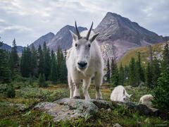 Mountain goat, Weminuche Wilderness, San Juan Mountains, Colorado, grenadier range