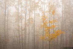 Aspens, fog, San Juan Mountains, Colorado, september